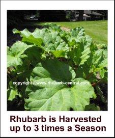 Rhubarb Picture harvesting rhubarb
