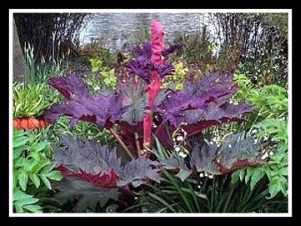 Ornamental Rhubarb Red for Landscaping Rheum Palmatum 'Tanguticum' 'Rote Aulese'