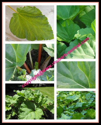 Collage Image of Rhubarb Leaves