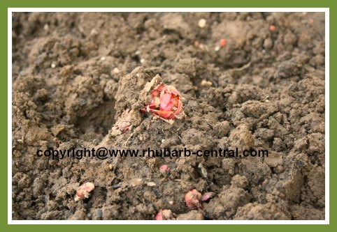 Transplanting Rhubarb - Planting the newly divided crown/roots/rhizomes