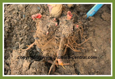 Dividing Rhubarb Rhizomes in Spring or Fall