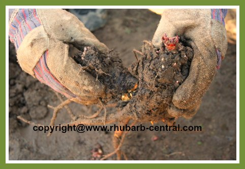 Breaking apart Rhubarb Crowns Roots Rhizomes
