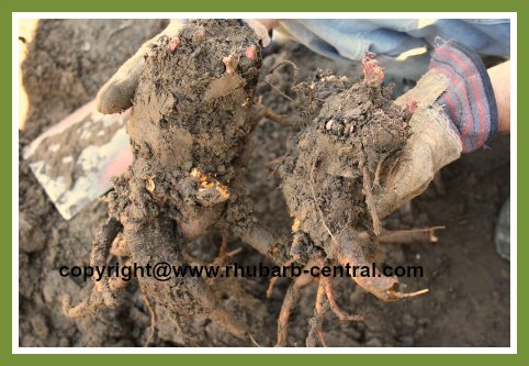 Dividing Rhubarb Rhizomes Roots Crowns to Thin or Transplant Rhubarb