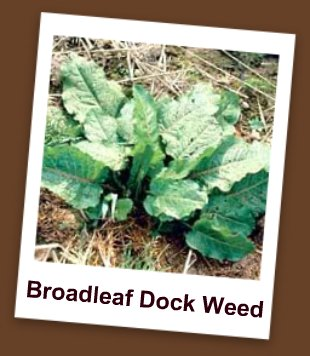 Picture of Broadleaf Dock Weed