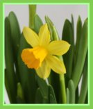 Spring Daffodil - Rhubarb Recipes for Spring/Easter