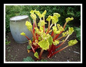 Forcing Rhubarb Outdoors in the Garden