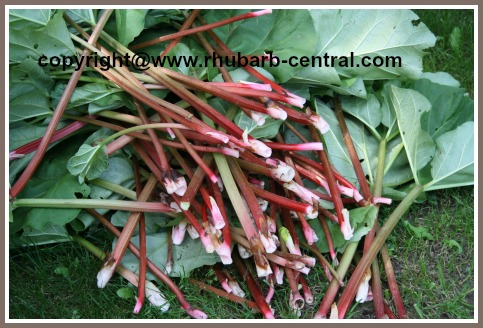 Harvested Rhubarb - Ready to Have the Leaves Cut Off