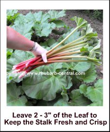 Image showing how to Pick Rhubarb