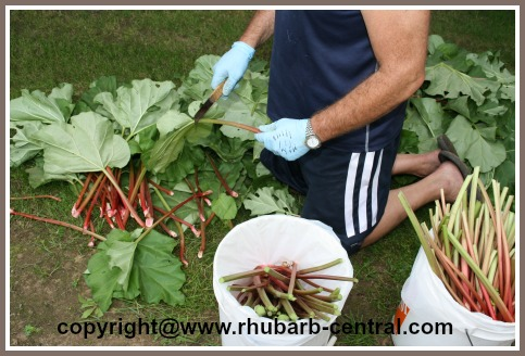 Cutting the Leaves Off the Rhubarb Stalks