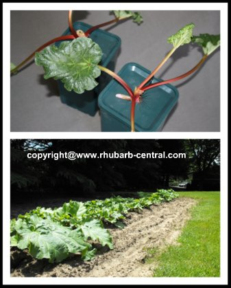 How to Plant Rhubarb plants, crowns, roots in the garden.