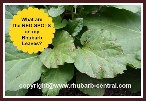 Red Spots on Rhubarb Leaves /Foliage