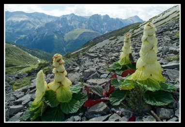 Rheum Alexandrae Ornamental Rhubarb