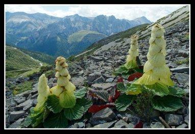 Ornamental Rhubarb Plants - Growing Rhubarb in Your Flower ...