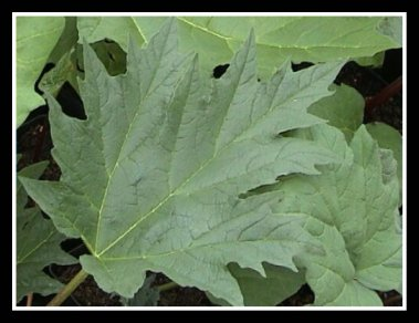 Leaves of the Rheum Palmatum 'Tanguticum' Plant