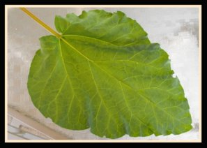 Rhubarb Leaf Insecticide/Organic Pesticide