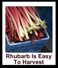 Picked  Harvested Rhubarb