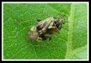 Rhubarb Pests - Tarnished Plant Bug