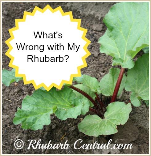 Spindly Thin Scrawny Rhubarb