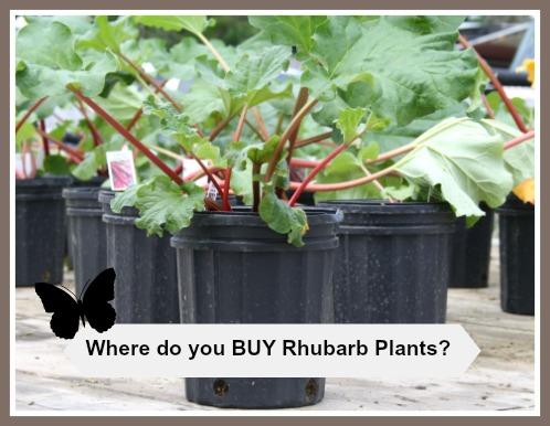 Where Do You Buy Rhubarb Plants