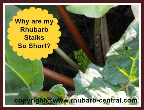 Short Rhubarb Stalks