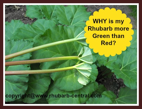 Green Rhubarb Stalks