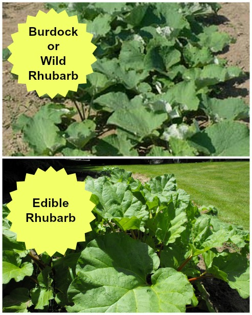 Wild Rhubarb /Common Burdock (top) and garden Rhubarb (below)