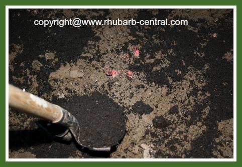Adding Manure to Rhubarb Garden in Spring