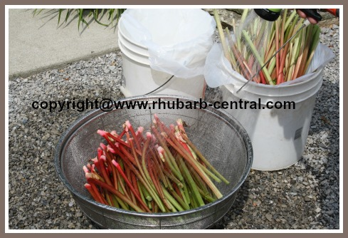 Washing the Rhubarb Stalks