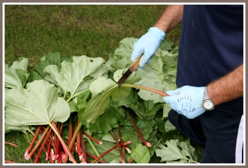 Removing the Rhubarb Leaves