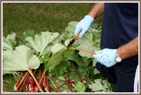 Removing the Rhubarb Leaves