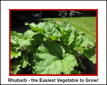 The Easiest Vegetable to Grow - Rhubarb