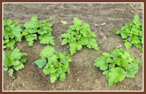 Rhubarb Patch How to Grow Rhubarb from Seeds