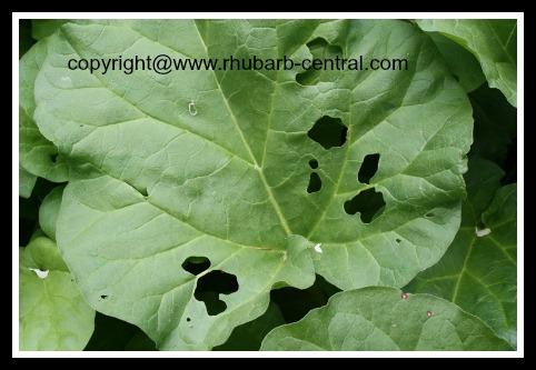 Holes in Rhubarb Slug Damage Rhubarb Pests