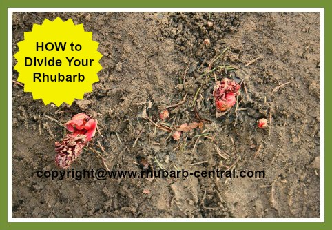 Dividing Rhubarb Crowns /Rhizomes /Roots in the Spring or the Fall
