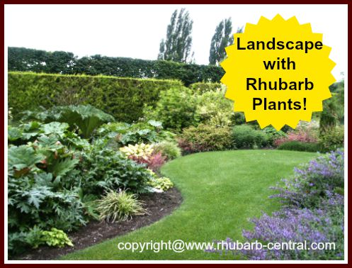 Ornamental Rhubarb Garden Landscaping Plants