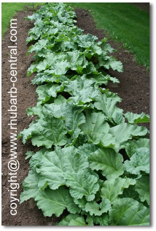 Picture of a Rhubarb Garden