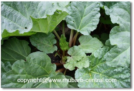 Picture of Rhubarb Patch Ready to Harvest/Pick