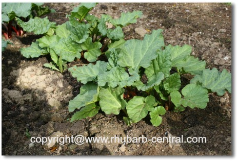 Picture of Rhubarb Gardening