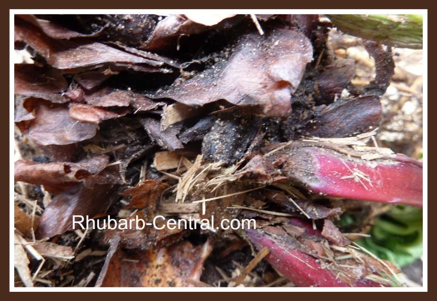 Rhubarb Crown Rot