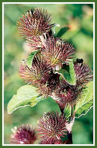 Wild Rhubarb/Common Burdock burs