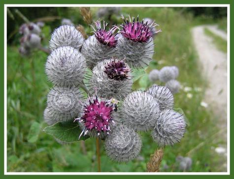 Wild Rhubarb Flowers/Common burdock flowers