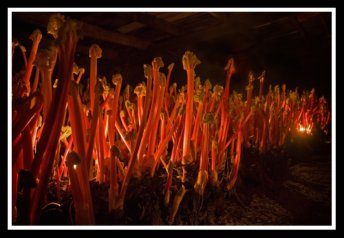 Rhubarb Forced Grown in Sheds and Harvested by Candlelight in Yorkshire