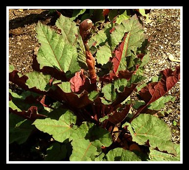 The 'Ace of Hearts' Plant  Rhubarb Plants for Landscaping
