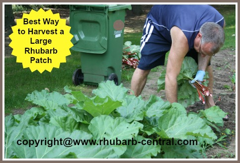 Picture of Harvesting Rhubarb