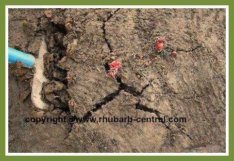 Dividing Rhubarb Crowns /Roots to transplant or thin rhubarb