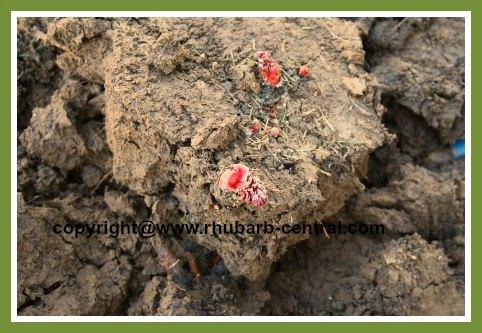 Dividing the Rhubarb Rhizome