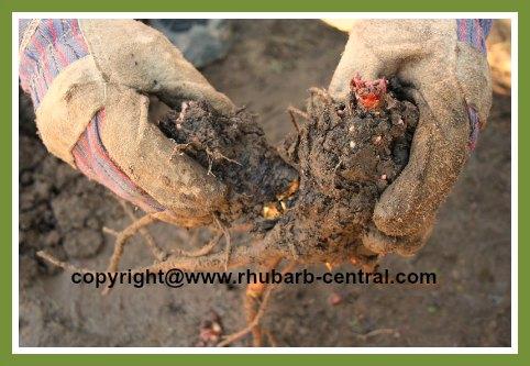 Breaking apart Rhubarb Crowns Roots Rhizomes