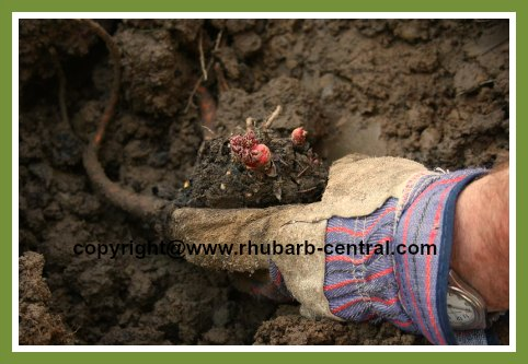 Propagating and Transplanting Rhubarb by Division
