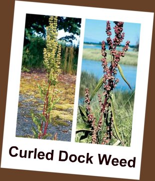 Picture of Curly Dock Weed