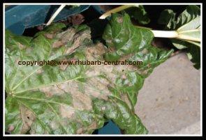 Rhubarb Leaf Disease Fungus